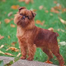brussels-griffon pup