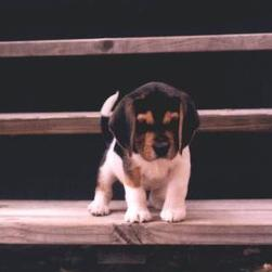 beagle puppy on the stairs.jpg