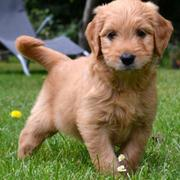 Dark tan Golden Doodle puppy picture playing in the back yard.JPG