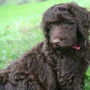 Chocolate dogs picture of a cute thick wavy curly hair goldendoodle puppy.JPG