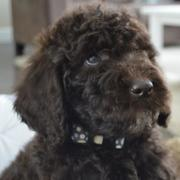 Chocolate goldendoodle puppy picture_furry puppy picture.JPG