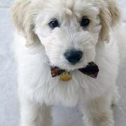 Close up dog picture of Goldendoodle puppy in white.JPG