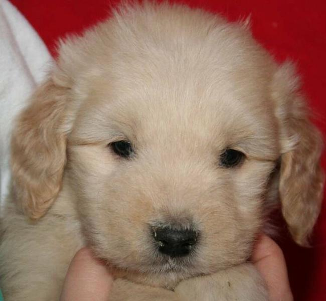 Close up puppy picture of a young golden doodle pup in light tan.JPG