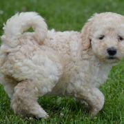 Curly haired dog_ tan cream goldendoodle puppy image standing on the grass.JPG