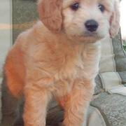 Cute puppy photos of light tan goldendoodle dog picture.JPG