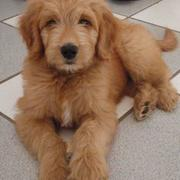 Dark tan goldendoodle dog photos.JPG