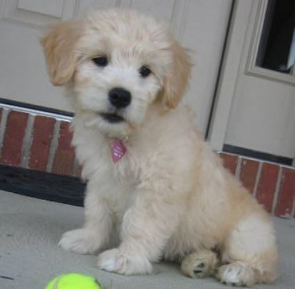 Dog images of a cute Goldendoodle puppy in cream color and tan ears.JPG