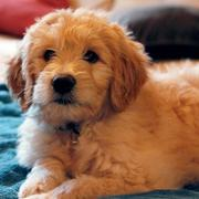 Golden Doodle dog pictures in tan.JPG