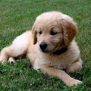 Golden Doodle pup chilling on the grass.JPG