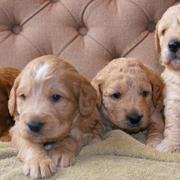 Golden Doodle puppies photos in tan.JPG