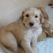 Goldendoodle breeders_golden doodle puppies phots.JPG
