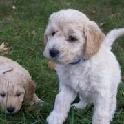Goldendoodle dogs picture playing together.JPG