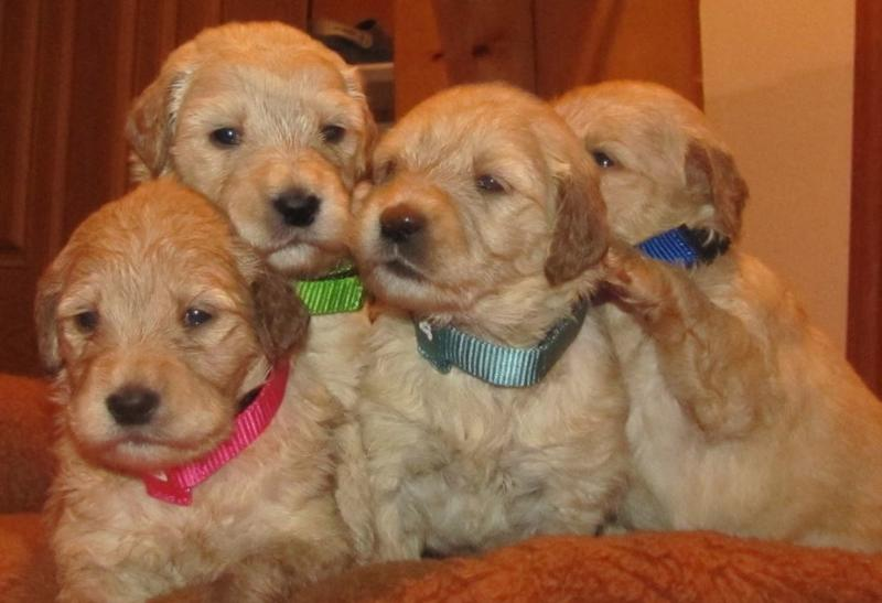 Goldendoodle puppies picture and they all in tan.JPG