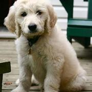 Goldendoodle puppy photos.JPG