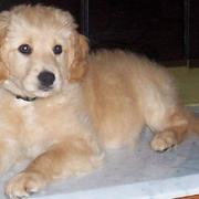 Goldendoodle puppy picture light tan and some white.JPG