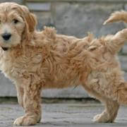 Long hair dog picture of Goldendoodle dog.JPG