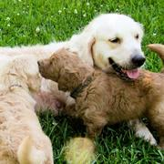 Mother dog and her puppies relaxing on the grass.JPG