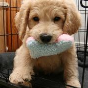 Playfull puppy picture of a golden doodle puppy playing with its dog toy.JPG