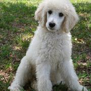Puffy hair dog pictures_golden doodle dog in cream white.JPG