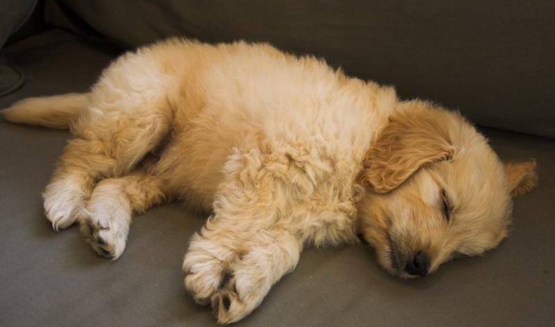 Super cute puppy photos_sleeping goldendoodle dog.JPG