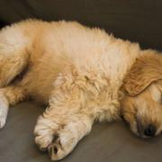 Super cute puppy photos_sleeping goldendoodle dog.JPG