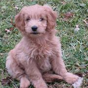 Tan goldendoodle pup pictures sitting on the grass looing straight at the camera.JPG