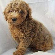Thick hair dog pictures_dark tan colored golden doodle pup.JPG