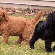 Two cute goldendoodle dogs photos playing in the black yard.JPG