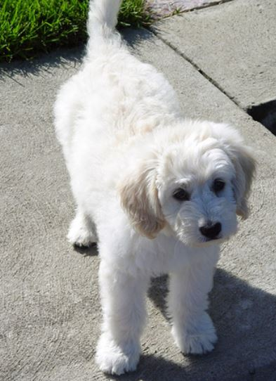 White Goldendoodle puppy image.JPG
