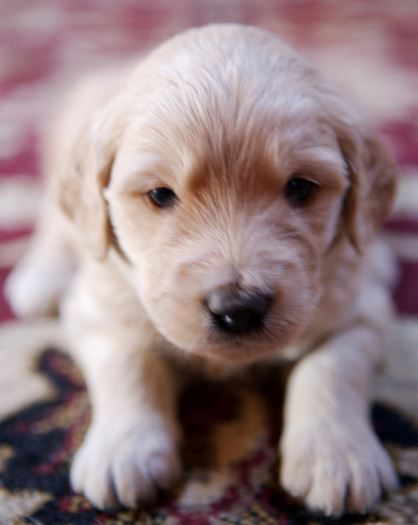 young dog picture goldendoodle pup image.JPG