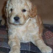 Young goldendoodle puppy in dark cream color.JPG