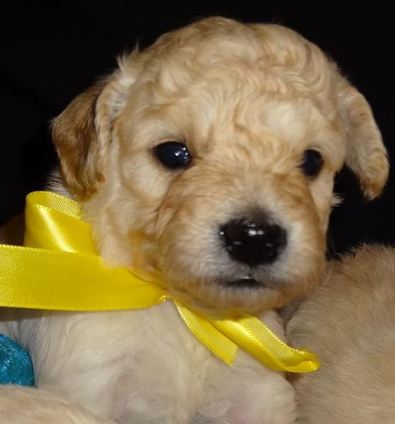 Young puppy photo of golden doodle in cream.JPG