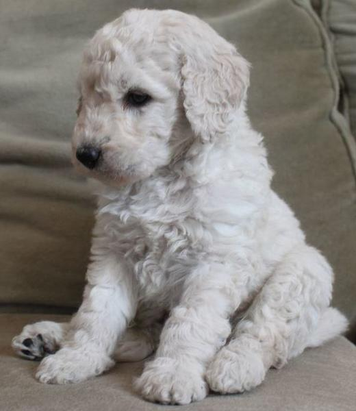Adorable puppy picture of cream goldendoodle dog.JPG