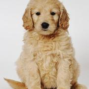 Beautiful Goldendoodle dog post pictures.JPG