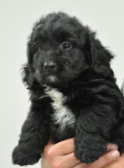 Black And White Goldendoodle Puppy Images Jpg