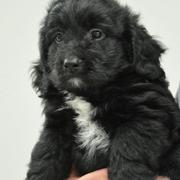 Black and white goldendoodle puppy images.JPG
