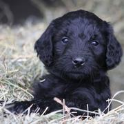 Black golden doodle puppy photos.JPG