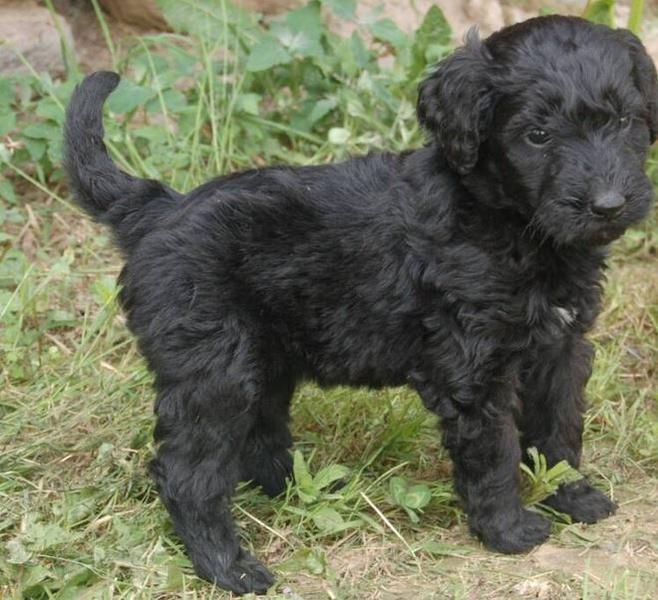 Black goldendoodle puppy picture_black thick hair puppy.JPG