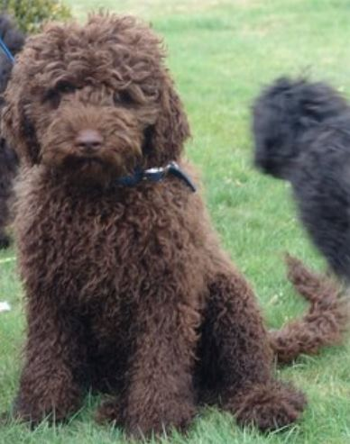 Brown goldendoodle dog pictures.JPG