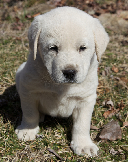 Cute White Puppy Imagespng