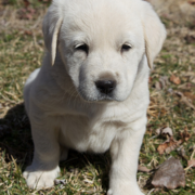 Cute white puppy images.PNG