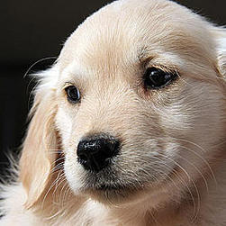 Golden retriever pup big face