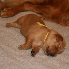 Golden Retriever pup into sleep