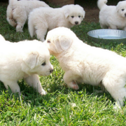 Cute dogs photo with Pyrenees  puppies in white.PNG