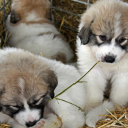 Cute dogs picture of Pyrenees  pups.PNG