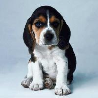 beagle puppy with long ears.jpg