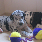 Harlequin great dane puppies.PNG