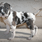 Photo of harlequin great dane pup.PNG