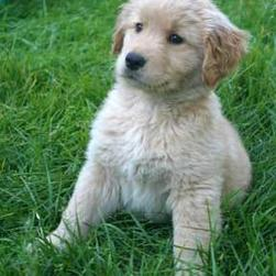 Golden retriever pup with naive expression