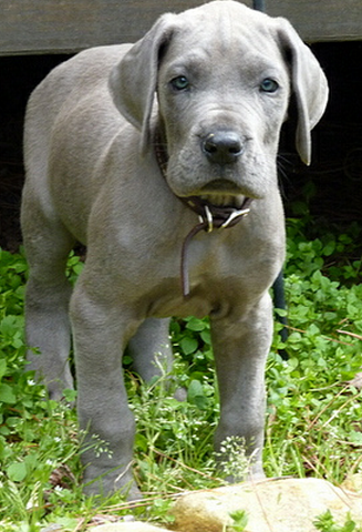 Blue great dane puppy pictures.PNG